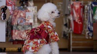 mini poodle in kimono