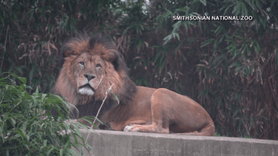 Great Cats at National Zoo Test Presumptive Positive for COVID-19