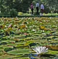 Stroll Among the Lilies at Kenilworth Aquatic Gardens