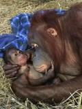 newborn_orangutan