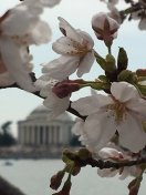 [UGCDC-CJ]They bloomed!!!! Gorgeous day at the national mall @nbcwashington @ChuckBell4 @TomKierein https://t.
