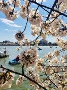 [UGCDC-CJ]@nbcwashington #CherryBlossomDC #cherryblossomfestival https://t.co/XRLQb4m0W0