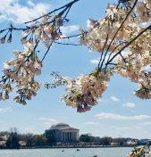 [UGCDC-CJ]@nbcwashington #CherryBlossomDC #cherryblossomfestival https://t.co/a4UyJl7WQA