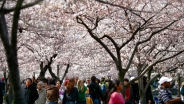 9 Cherry Blossom Events