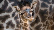 giraffe-lazoo-june2018