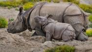 greater-one-horned-rhino-001_Med