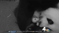 babypandasnuggling