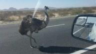Emu Found Wandering Along Phoenix Interstate