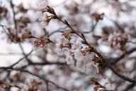 [UGCDC-CJ]Cherry Blossoms at Sunrise