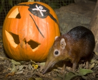 Black-And-Rufous Elephant Shrew