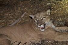 LA-Area Mountain Lion Gets Reprieve After Alpacas Killed