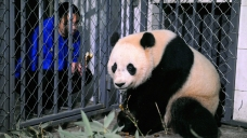 US-Born Panda Bao Bao Makes First Public Appearance in China