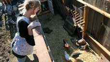 CDC: Backyard Chickens, Ducks Linked to Salmonella Infection