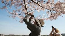 Cherry Blossom Festival 2018: Your Essential Guide