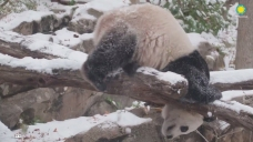 Watch: Bei Bei is Having a Blast in the Snow