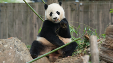 Bao Bao to Move to China in Early 2017