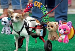 Watch 128 Chihuahuas Race at the Wharf for Cinco de Mayo