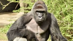 Gorilla Killed at Cincinnati Zoo After Child Climbs In Enclosure