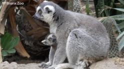 Baby Lemurs Make Their Debut at Bronx Zoo