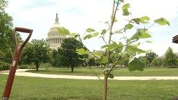 Sapling in DC Grown From George Washington Tree