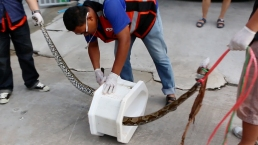 Thai Man Bitten By Python Who Emerged From Toilet