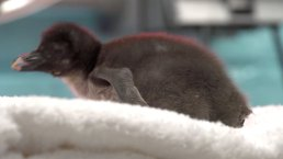 "Penguin Born at Chicago Zoo is a ""Vulnerable"" Species"