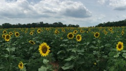 PHOTOS: 30 Acres of Sunflowers On Display Now in Maryland
