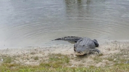 Gator Gobbles Down Golf Ball at Florida Golf Course