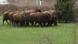 RAW: Bison on the Loose in Bethlehem, NY