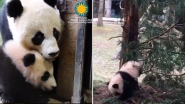 VIDEO: Bei Bei Gets Stuck on Branch