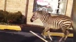 Zebra Runs in New York Streets