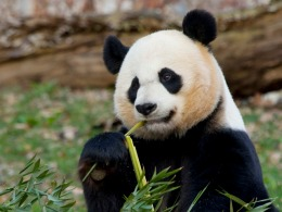 24-Hour Pregnancy Watch Begins for Mei Xiang