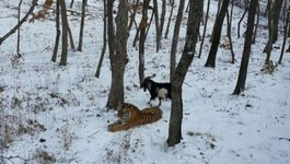 Best Friends? Goat Becomes Pals With a Tiger