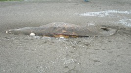 Why Dead Whales Keep Washing Ashore in Northern California
