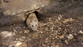 Plague-Carrying Flea Found on NYC Rats: Study