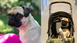 Abandoned Pug Found With Legs Severed Maintains High Spirits