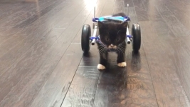 WATCH: 'Miracle Kitten' Uses Tiny Wheelchair