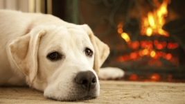 Who's Top Dog? AKC Releases Breed Popularity Rankings