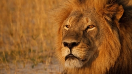 Conservation Group Fears Cecil the Lion's 'Brother' Killed