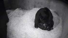 Twin Andean Bear Cubs Born at National Zoo
