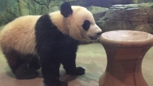 Panda House Reopens as Bei Bei Recovers From Surgery