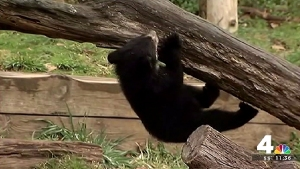 Zoo's Andean Bear Cubs Get Names