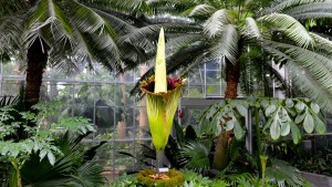 Second Corpse Flower Begins to Bloom; One More to Go