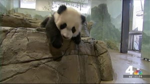'Inquisitive' Bei Bei Continues to Melt Hearts