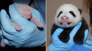 When Do Panda Cubs Start Looking Cute?