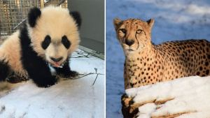 Blizzard at the Zoo: Animals Delight in Snow