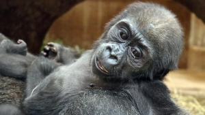 National Zoo's Baby Gorilla Takes First Steps