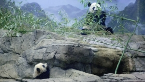Giant Pandas Oversharing About Baby-Making... Again