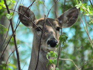 PM Read: Plan to Control Rock Creek Deer Population