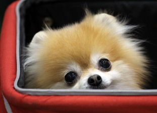 Pomeranian Predicts Stanley Cup Playoffs
